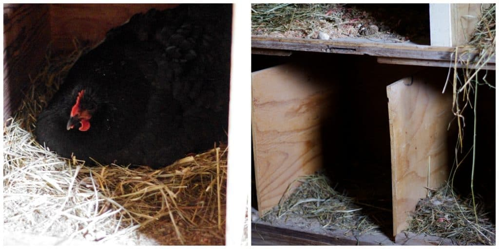 What to look for when your hen starts laying eggs
