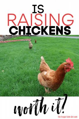 is raising chickens worth it