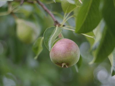 apple tree dehydrator ninja foodi