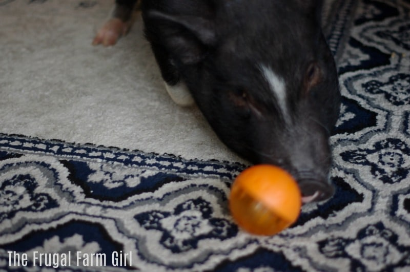 mini-pig-pot-bellied-pig-indoor-activities