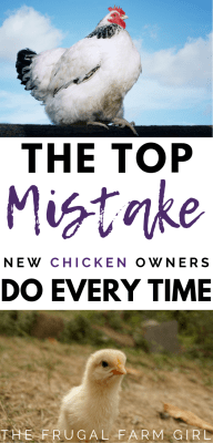 Top mistakes new chicken owners make