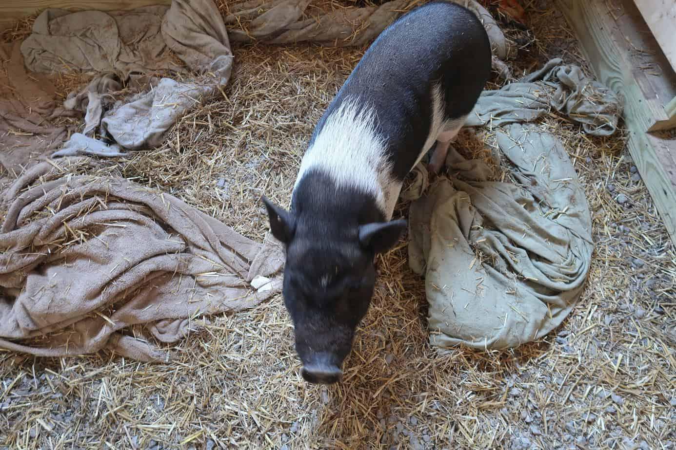 mini-pig-blow-coat-shedding