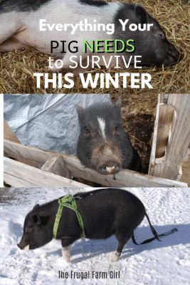 How to Prepare Your Pigs for Winter