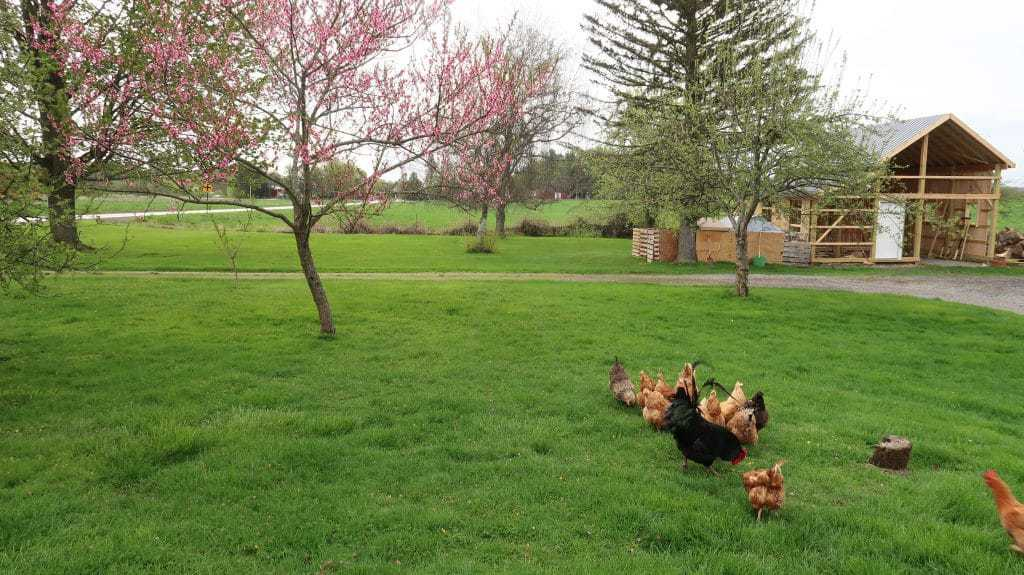 how keep chickens safe this year