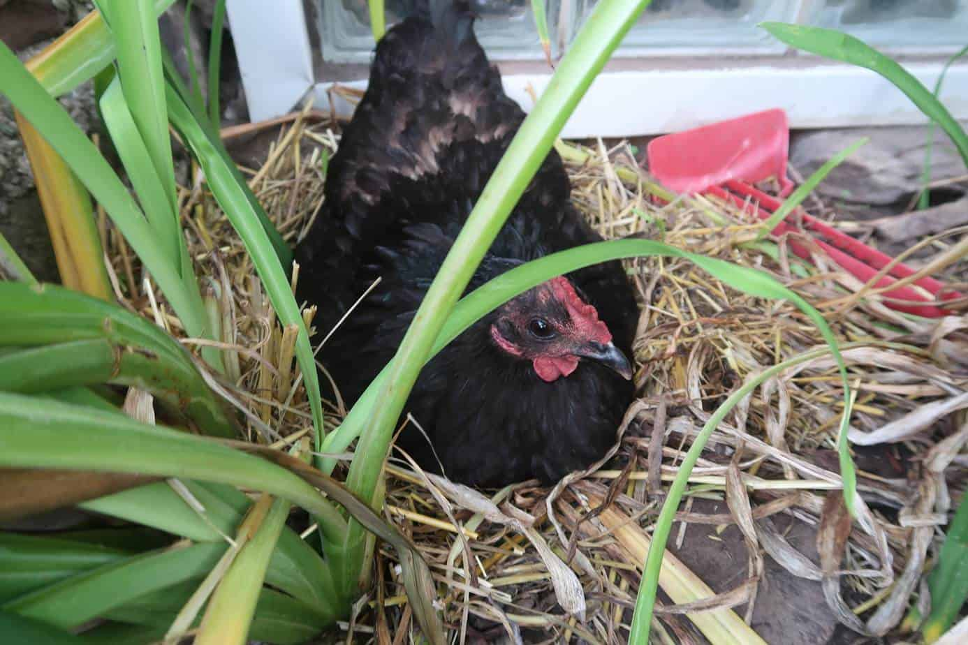 How to Get Your Hens to Lay Eggs Longer