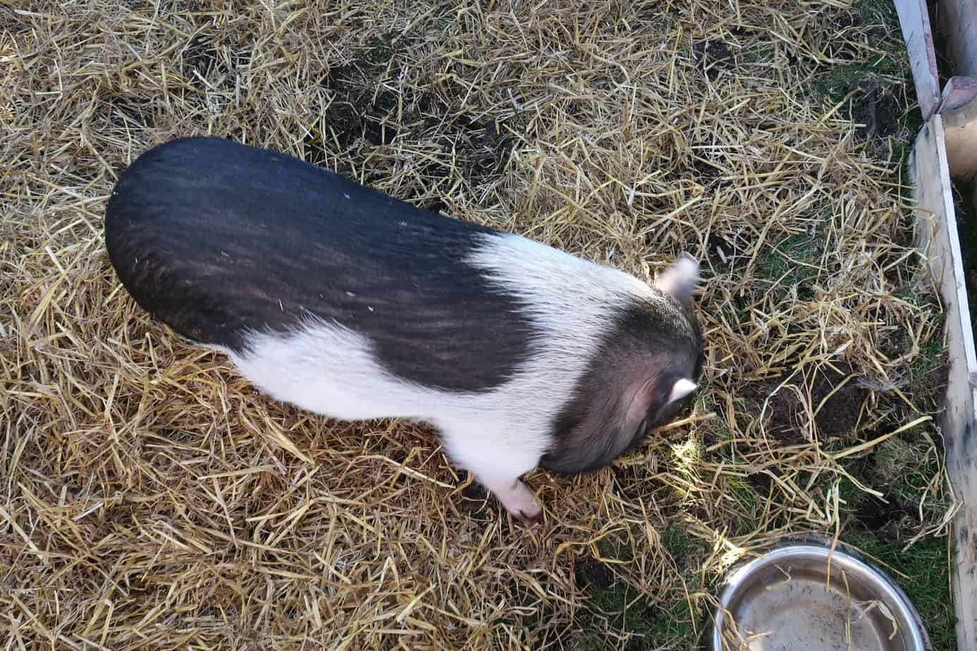 how to transition your mini pig outside