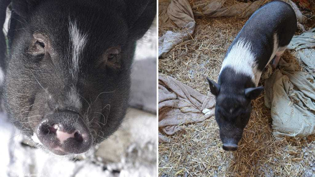 Mini Pig Feeding Tips To Start Now