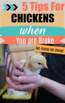 raise chickens cheap