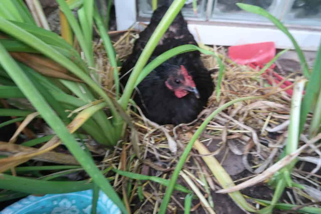 broody hen signs and how to stop it