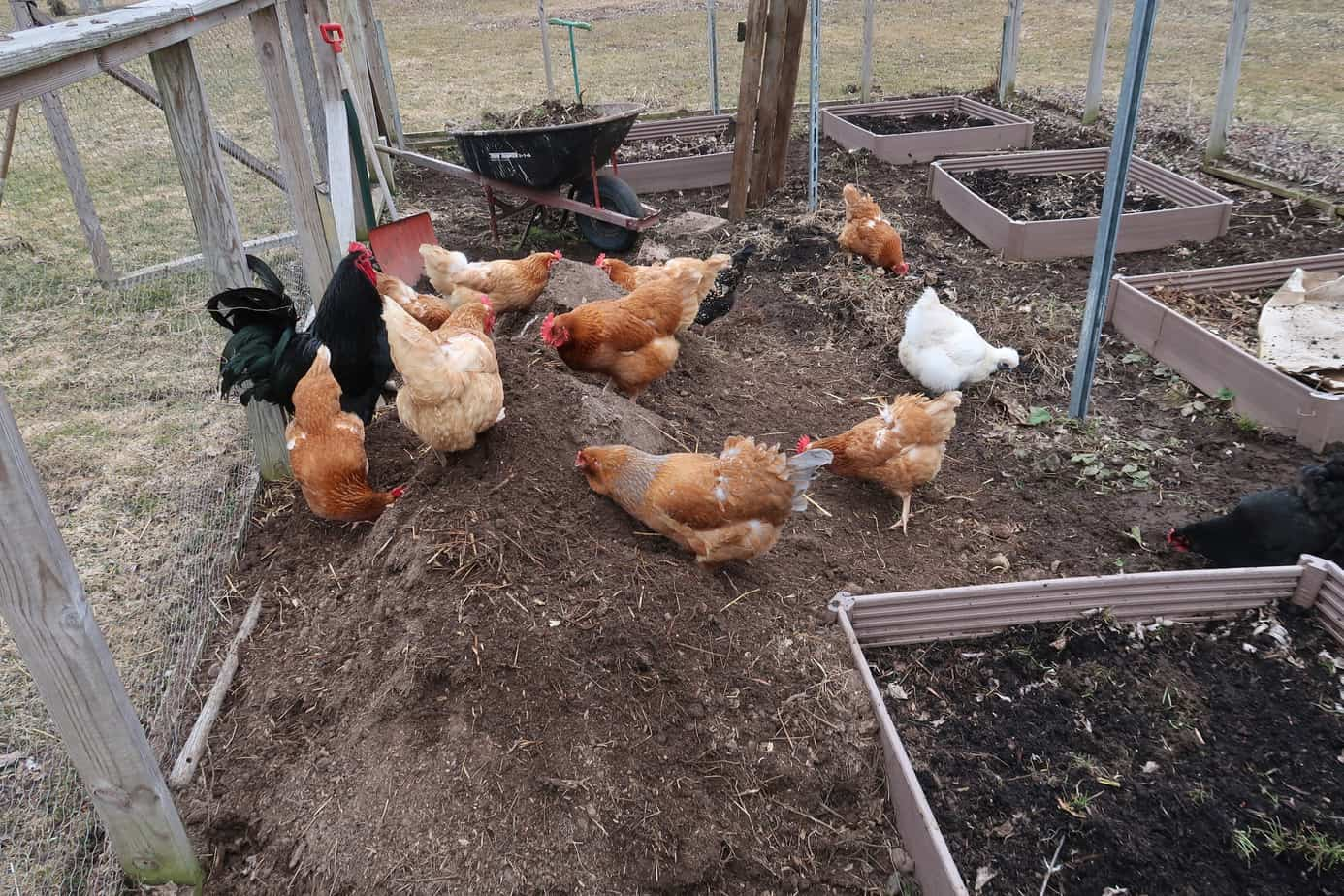 chickens out of garden tips