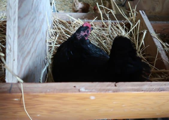 stop a broody hen tips