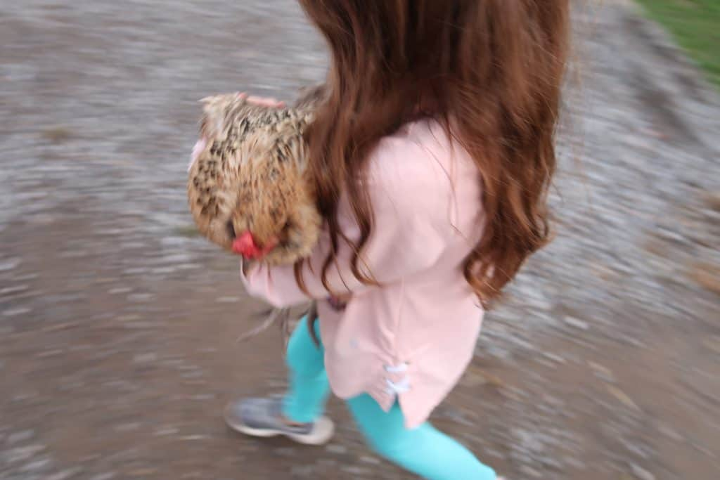 carrying chickens to new coop