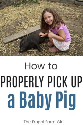 how to pick up a baby pig