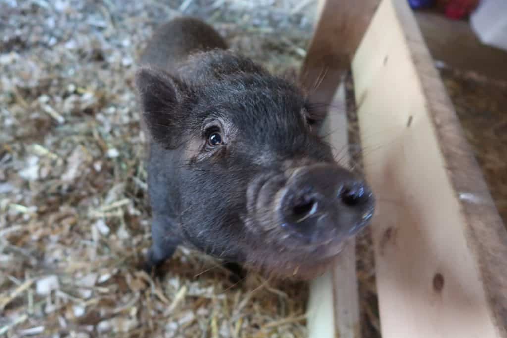 3 Major Reasons You Don't Want a Miniature Pig as a House Pet