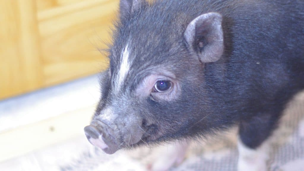 care tips for a baby mini pig