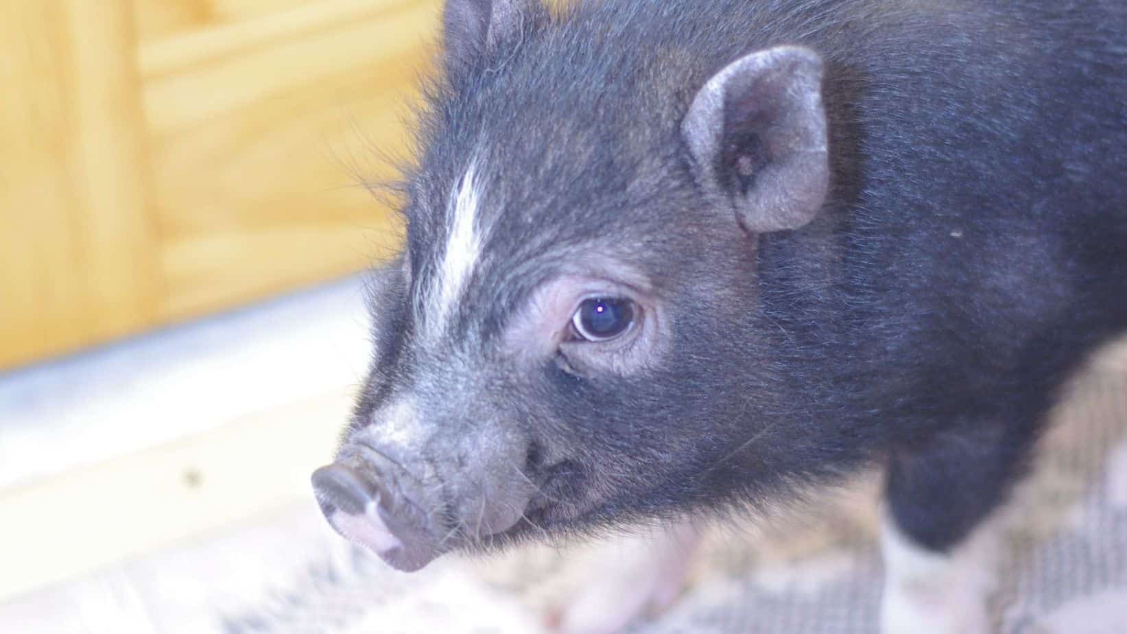 reasons-dont-want-miniature-pig-as-house-pet