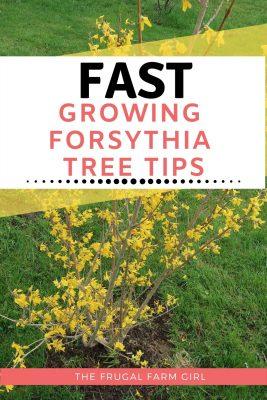 how to plant a forsythia tree