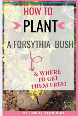 how to plant a forsythia bush