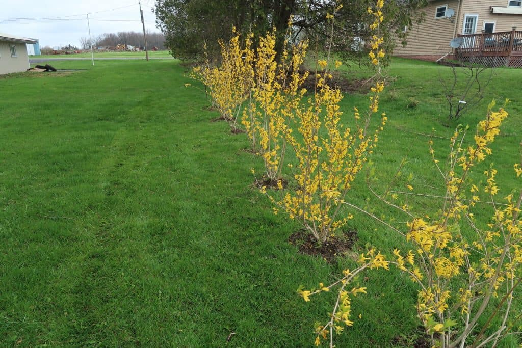 How to Plant a Forsythia Tree & Get Them For Free