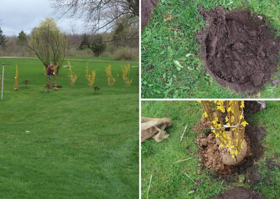 how to plant a forsythia tree