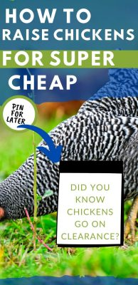 raising chickens for cheap tips