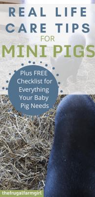 mini pig tips