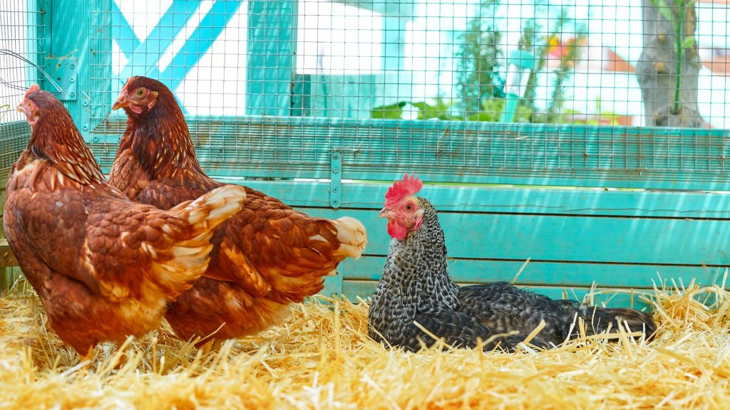 Tips for Setting Up Portable Chicken Coops in Your Backyard