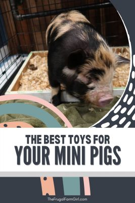 best toys for potbelly pigs