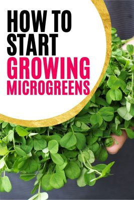 grow delicious and nutritious microgreens