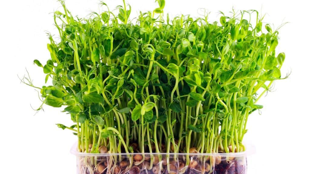 How to Grow Delicious and Nutritious Microgreens