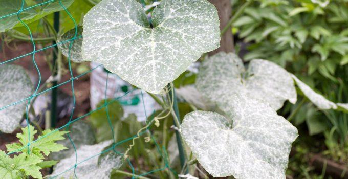powdery mildew on vegetable plants