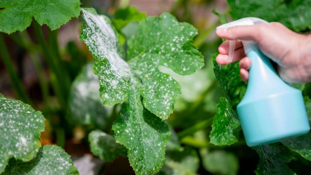 How to Get Rid of Mold and Mildew on Your Vegetable Plants